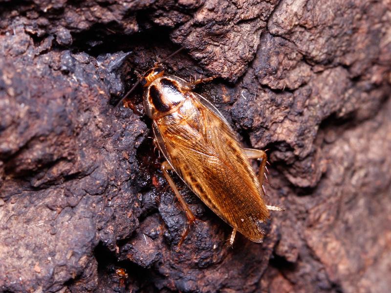 モリチャバネゴキブリの成虫の生態写真