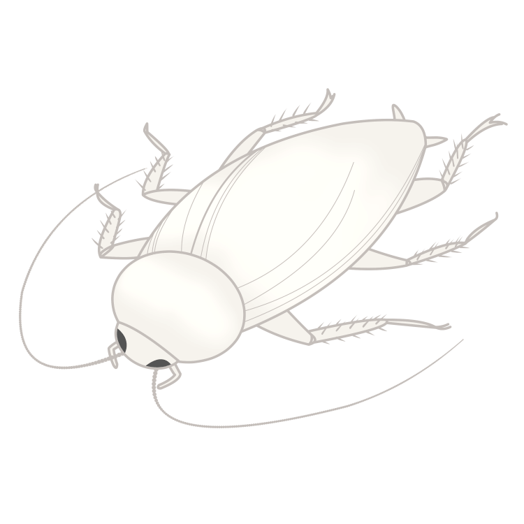 脱皮したてのクロゴキブリ