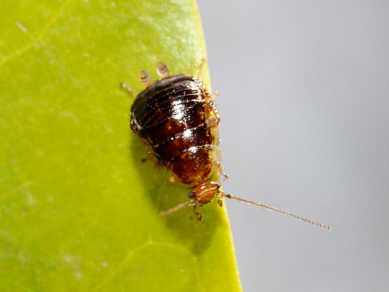 ヒメクロゴキブリの幼虫の生態写真