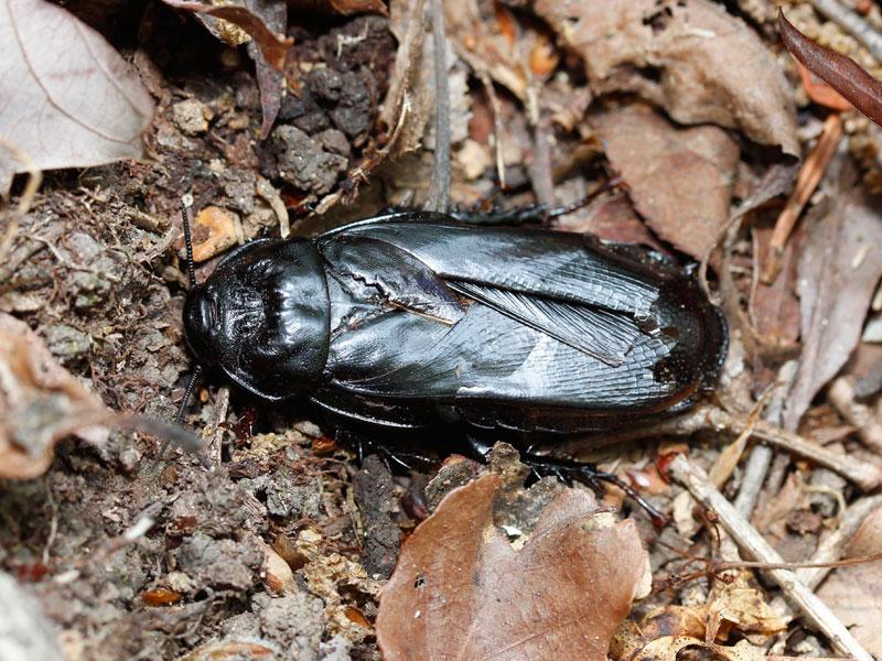 オオゴキブリの生態写真