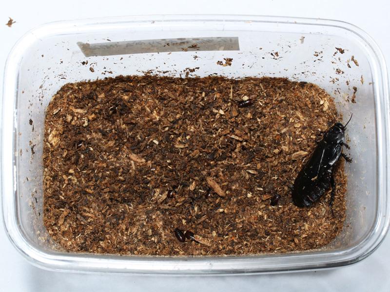 オオゴキブリを飼育している様子の写真