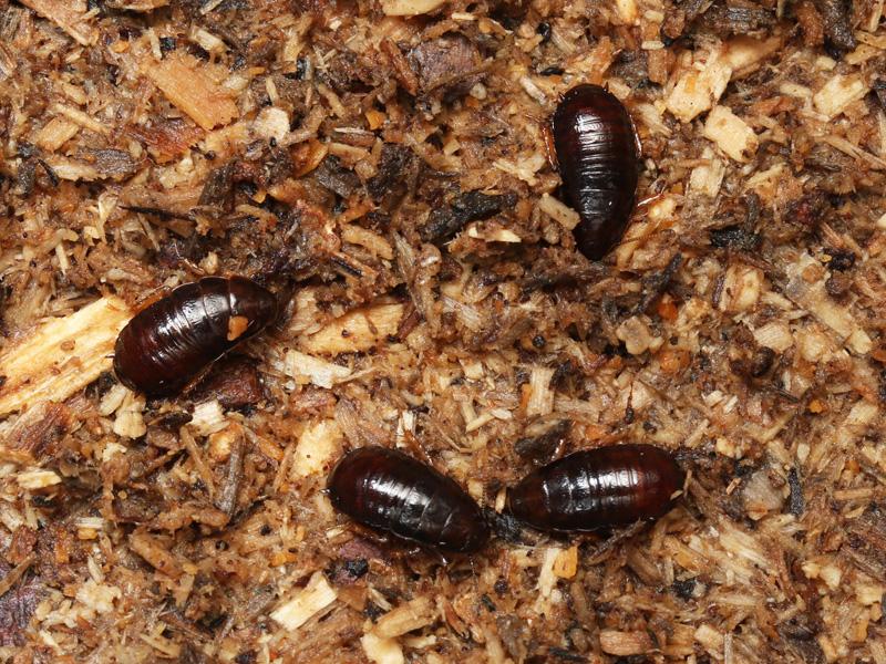 オオゴキブリの幼虫の生態写真