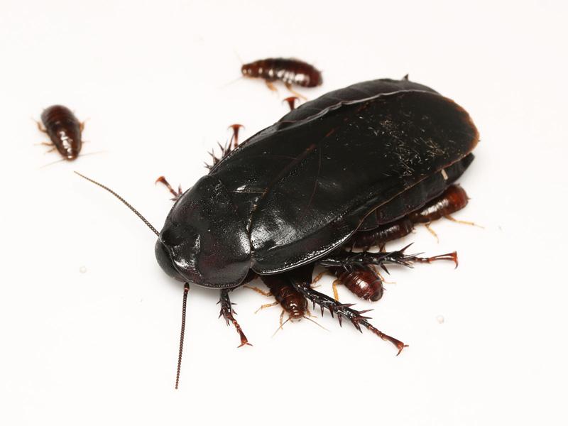 オオゴキブリの成虫と幼虫の生態写真