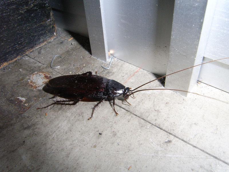 クロゴキブリの生態写真