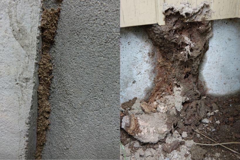 細い蟻道と太い蟻道