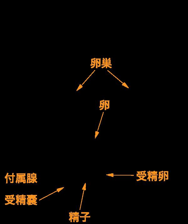 ゴキブリメスの卵巣