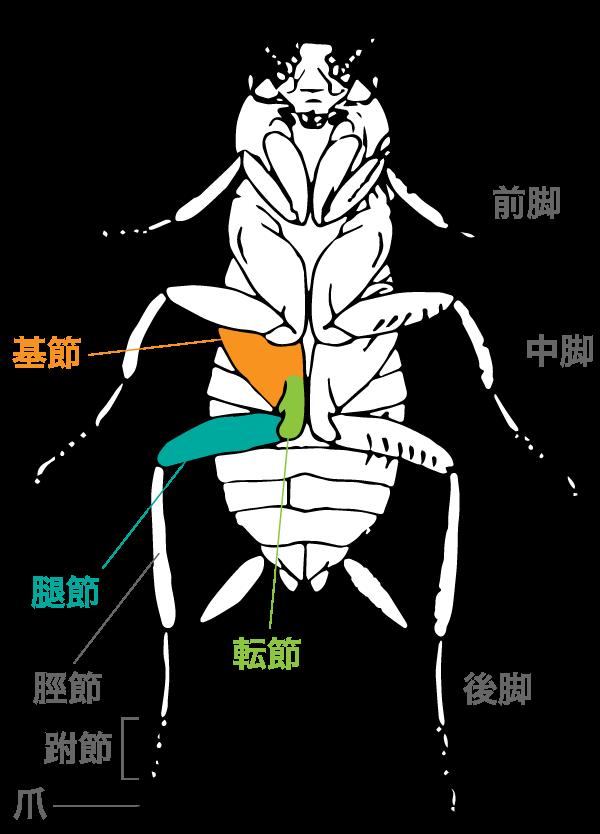 基節・転節・腿節(たいせつ)が大きく、立派な肢をもつゴキブリ