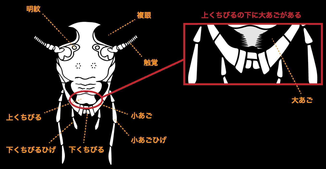 ゴキブリの顔と顎の拡大図