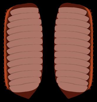 クロゴキブリの卵鞘を開いた状態