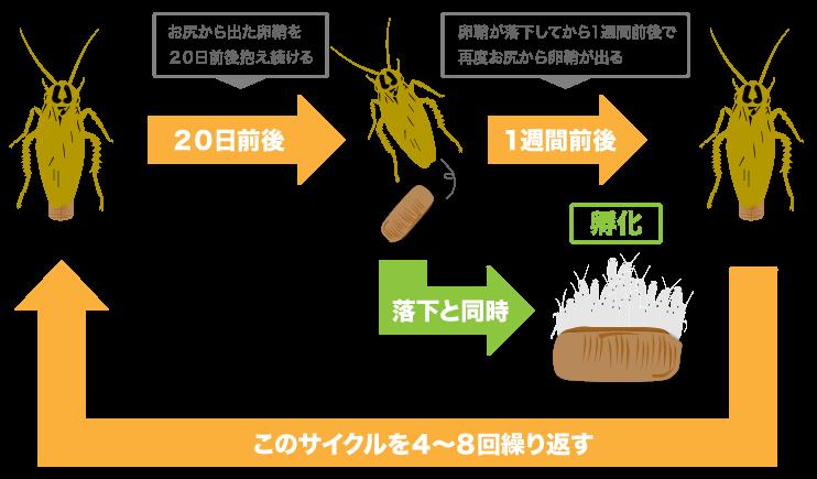 チャバネゴキブリの産卵サイクル(落下と同時に孵化)