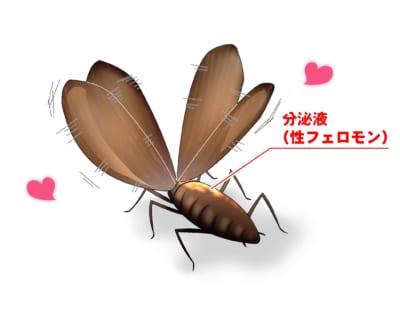 クロゴキブリが翅を持ち上げて震わせ、分泌物(性フェロモン)の出た腹部背面をメスに見せて求愛行動をする