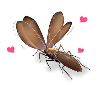 クロゴキブリのメスがオスの背面の分泌物を舐める