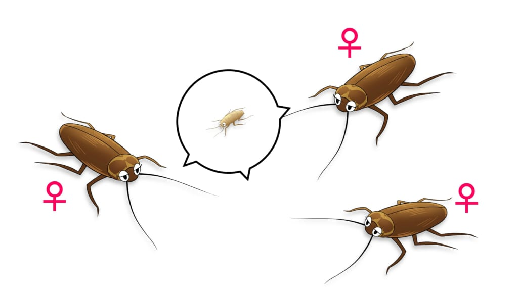 メスだけで繁殖できるゴキブリ