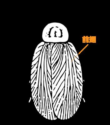 大きく長い前翅