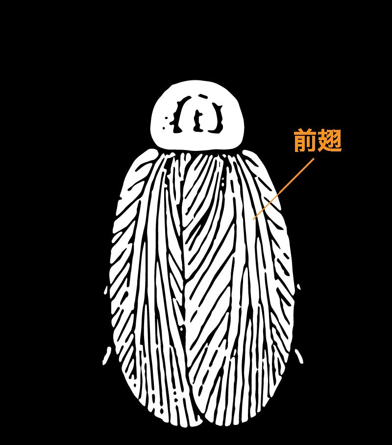 ゴキブリの祖先とされてきた昆虫の前翅
