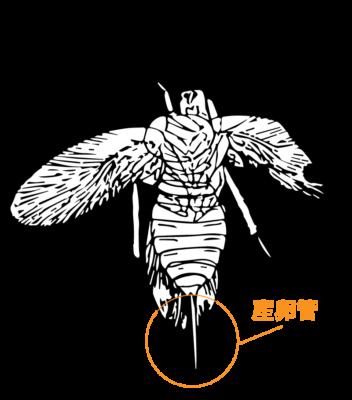 産卵管を持ったゴキブリ