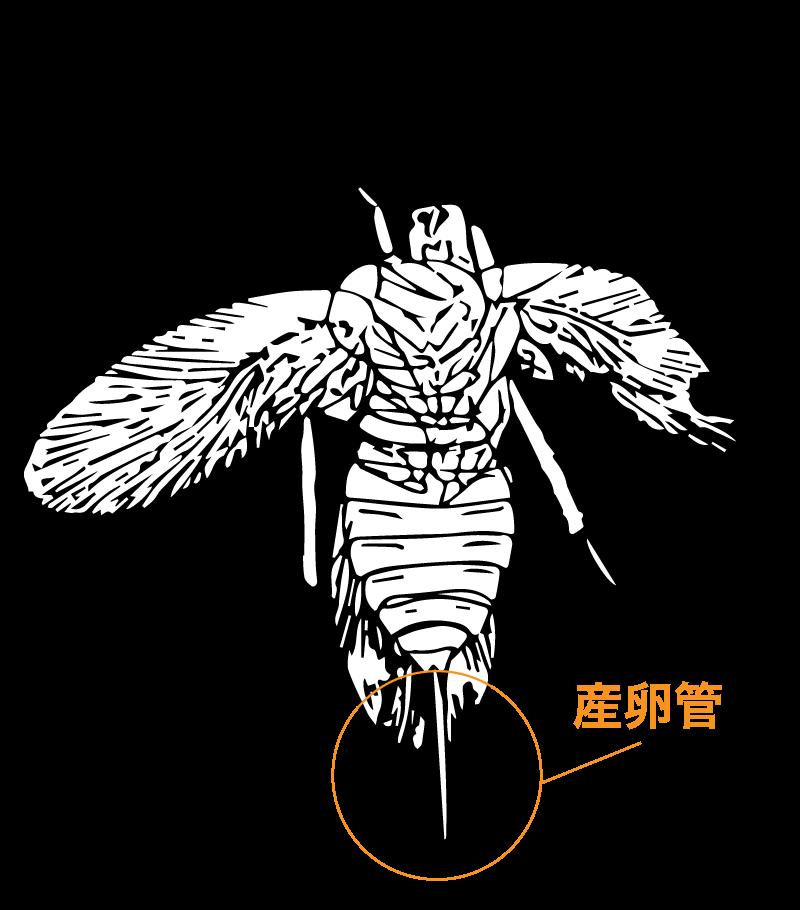 ゴキブリの祖先とされてきた昆虫の産卵管