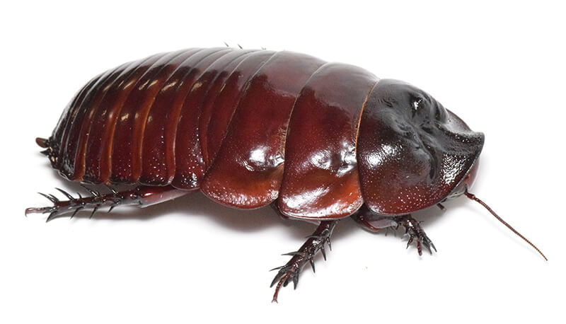 GKB総選挙の結果、センターをもぎ取った「ヨロイモグラゴキブリ」