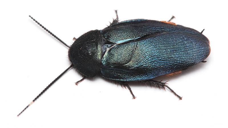 日本に生息する「ルリゴキブリ」
