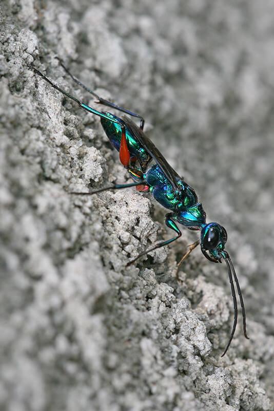 エメラルドゴキブリバチ