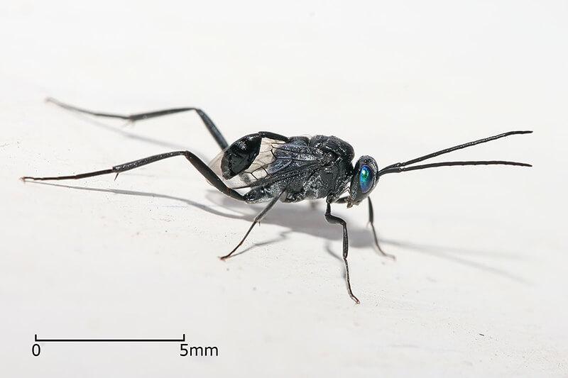 ゴキブリヤセバチ