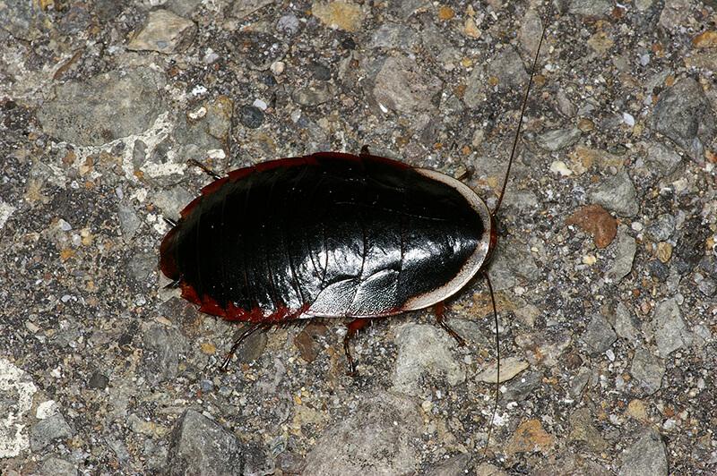 サツマゴキブリ