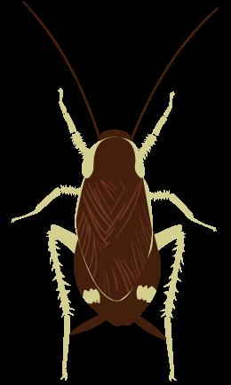 チャオビゴキブリ メス