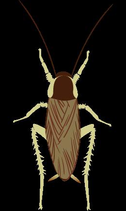 チャオビゴキブリ オス