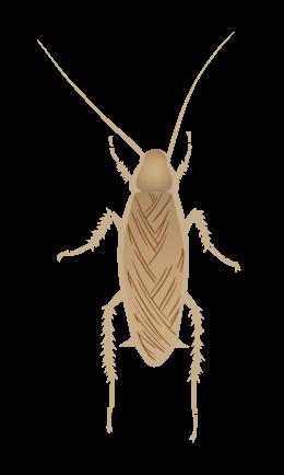 チュウトウゴキブリ(トルキスタンゴキブリ) オス