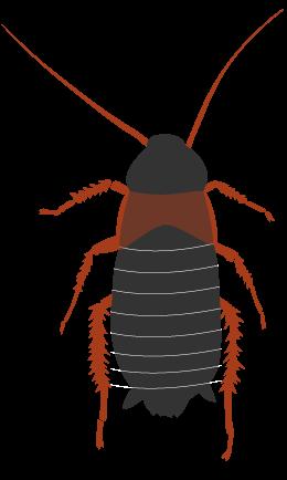 チュウトウゴキブリ(トルキスタンゴキブリ) メス