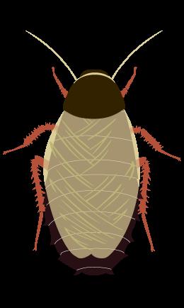 オガサワラゴキブリ