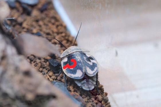 ハテナゴキブリ