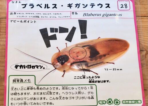 ブラベルス・ギガンテウスのポスター