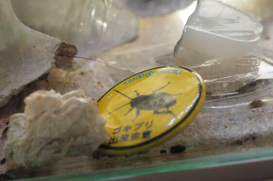 身近なゴキブリの展示ケース