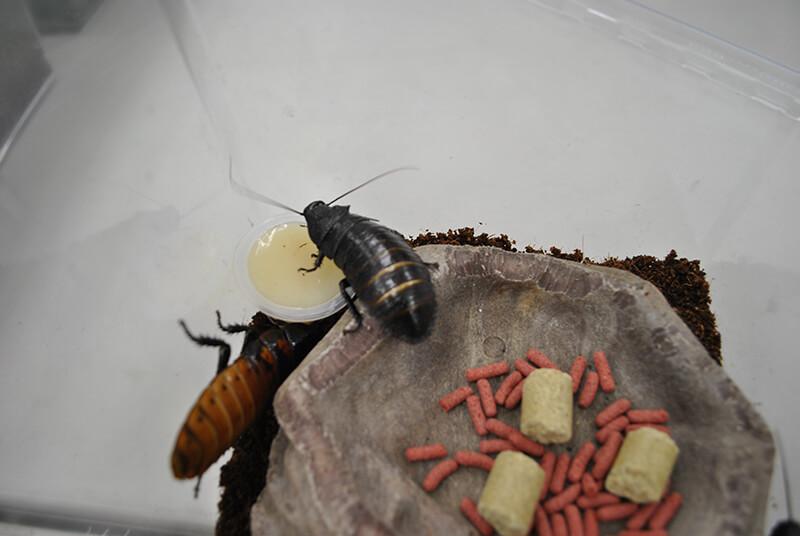 黒色のマダガスカルヒッシングローチ