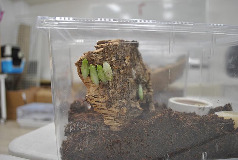 飼育ケース内のコルク裏に隠れるグリーンバナナローチ数匹