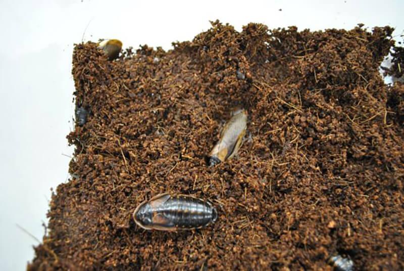ヤシガラ土が床材になっているデュビアの飼育ケース
