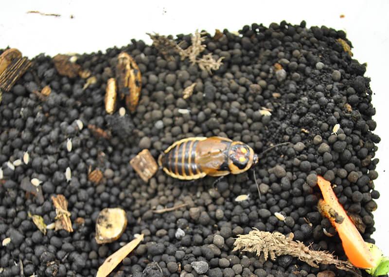 ワラジムシが同居している床材とグロウスポットローチ