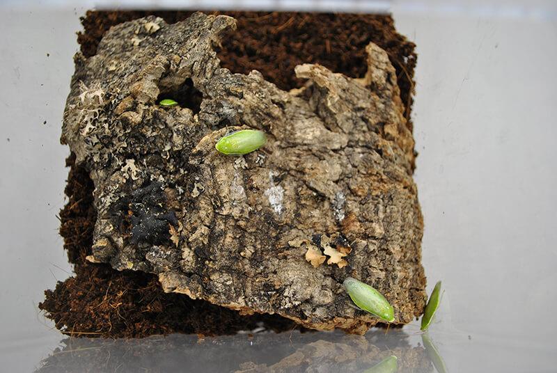 コルクの隙間に入り込むグリーンバナナローチ