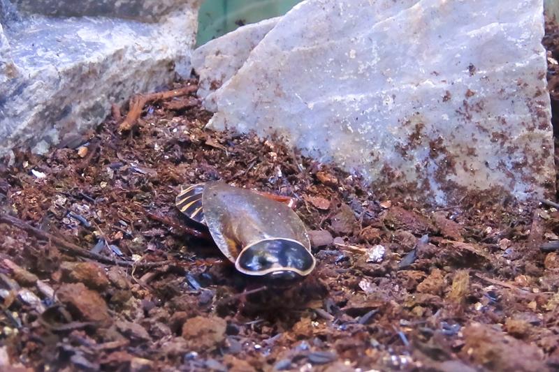 シマンドアドウクツゴキブリの生体展示