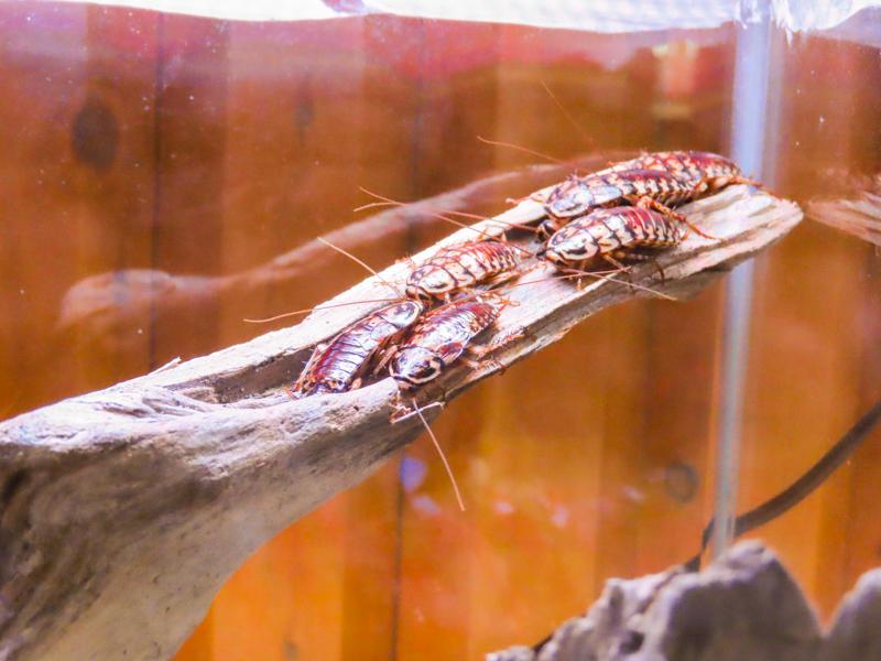 イエゴキブリの生体展示