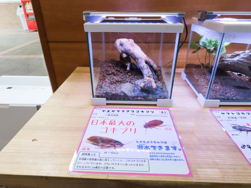 ヤエヤママダラゴキブリの展示風景と紹介文