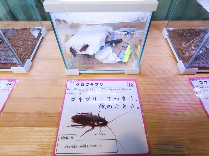 クロゴキブリの生体展示