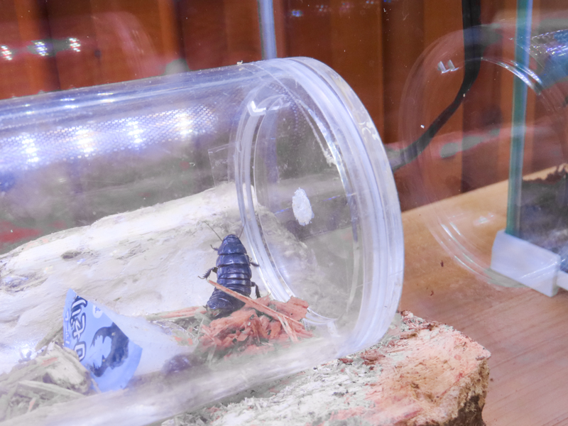 キゴキブリの生体展示
