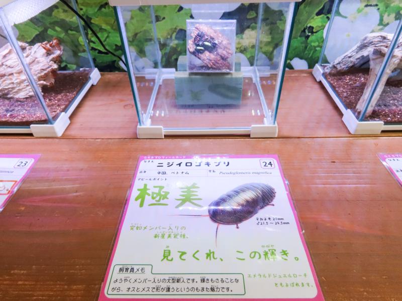 ニジイロゴキブリの紹介文を書いたポップ