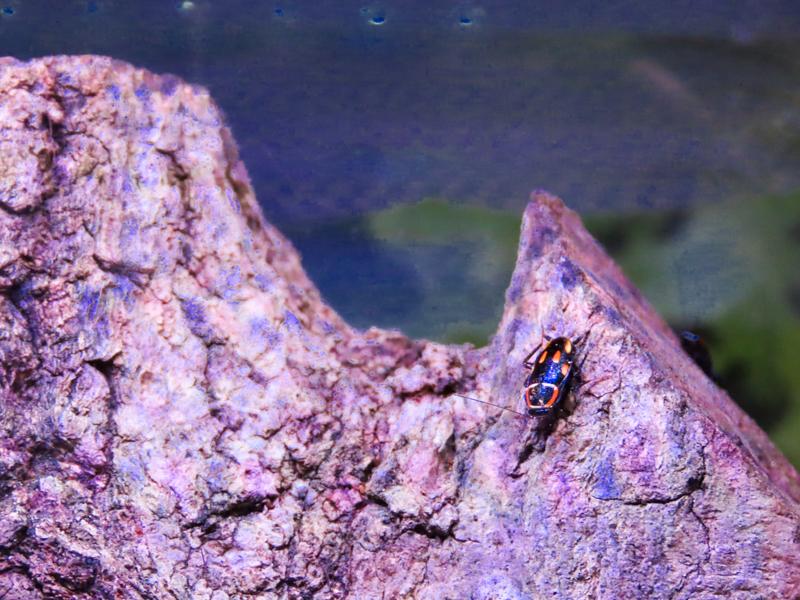 ムツボシテンダマゴキブリの生体展示