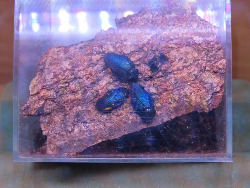 ルリゴキブリの生体展示