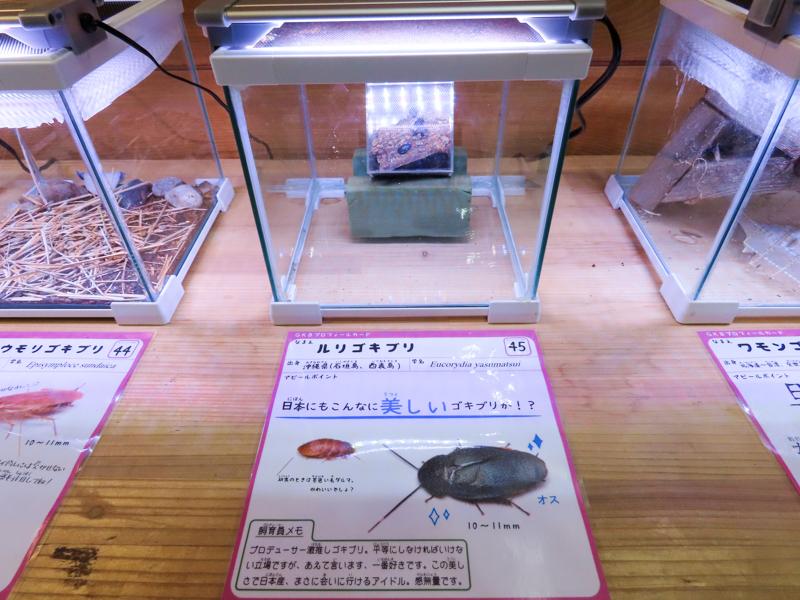 ルリゴキブリの展示風景