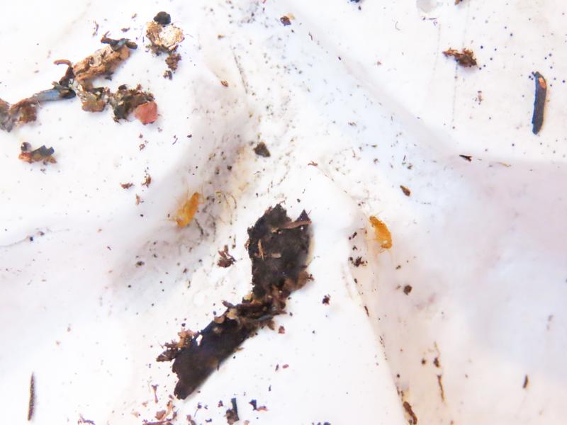 ホラアナゴキブリの生体展示