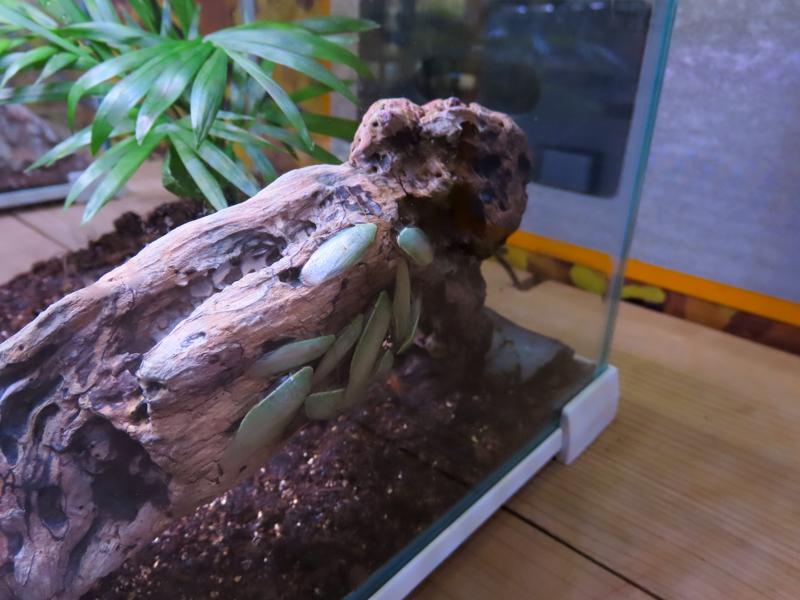 グリーンバナナローチの生体展示